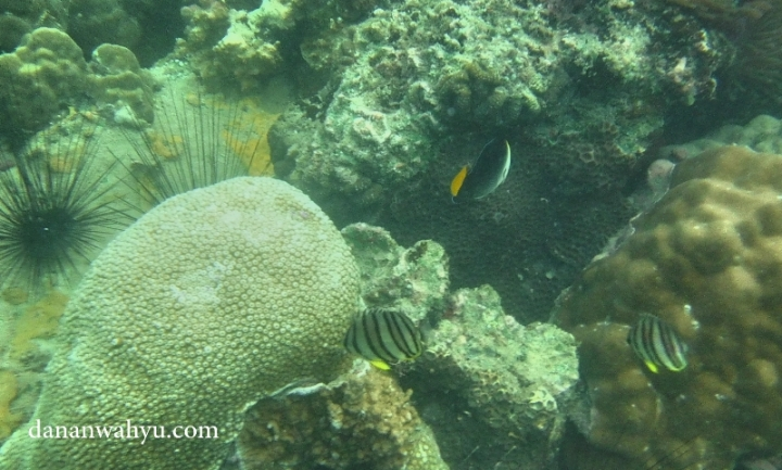 terumbu karang dan ikan di perairan pulau Petong