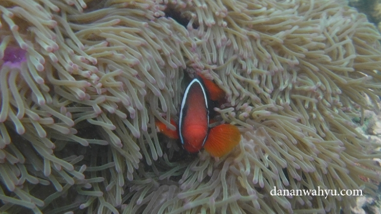 anemon dan clownfish di pulau Petong