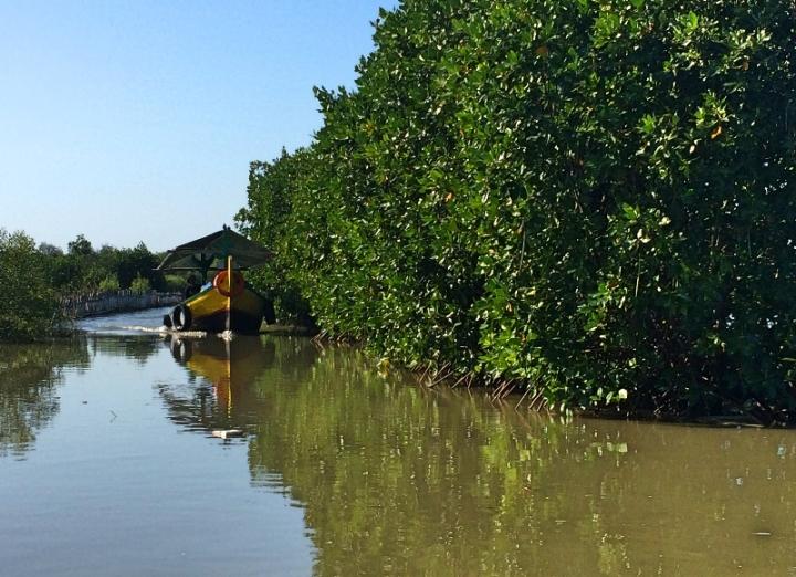 Menjelajah Ekowisata hutan mangrove Karangsong