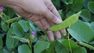 kacang kerandang tanaman yang banyak tumbuh di pesisir pantai