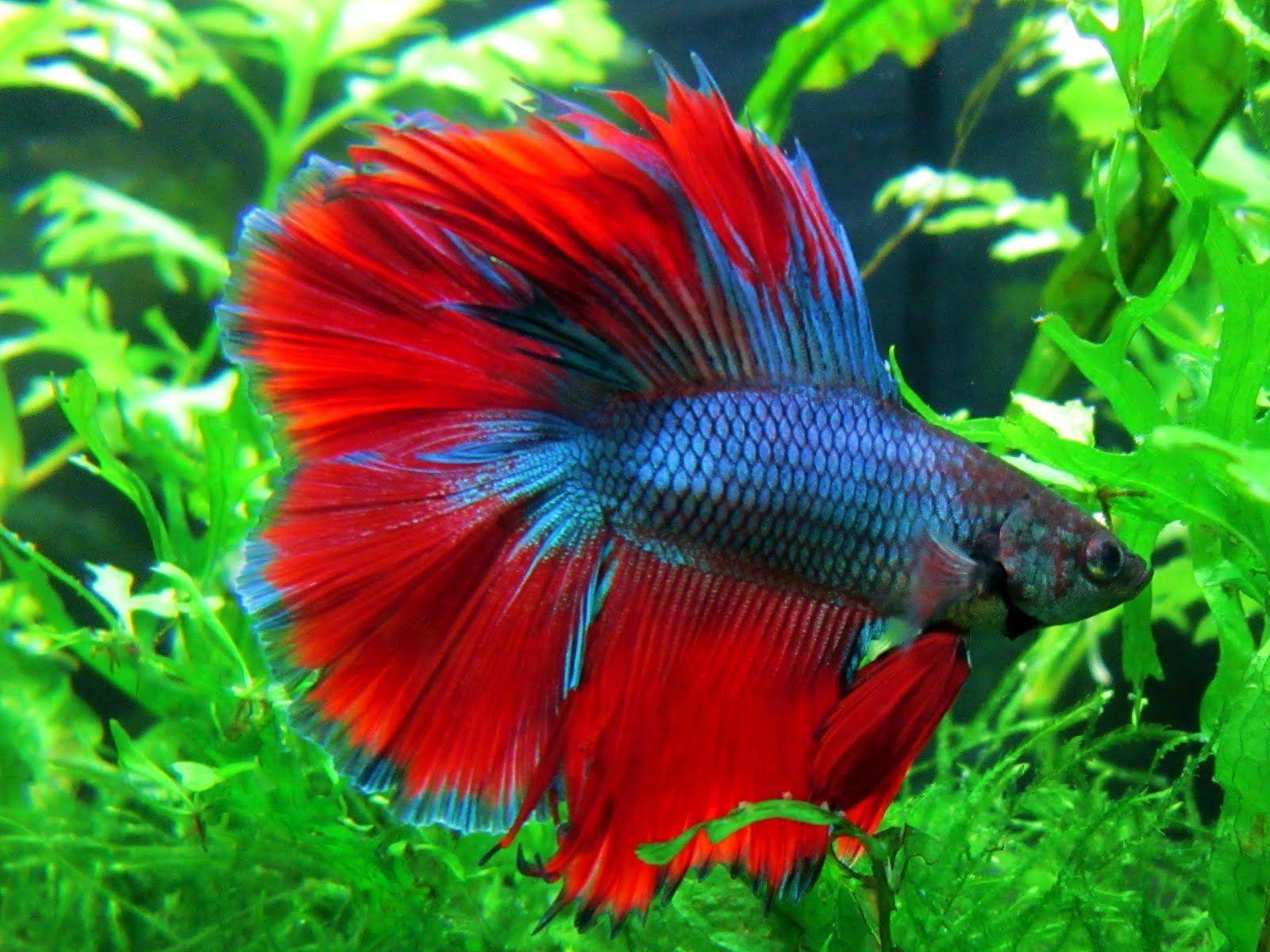 Tips Jitu Buat Kamu Yang Mau Pelihara Ikan Cupang Dananwahyu Com